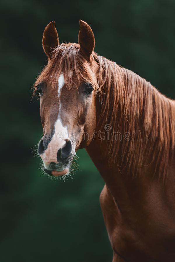 Close portrait of beautiful elegant red mare horse with brown main on forest backgroundportrait of stunning red trakehner stallion. Portrait of stunning red stock image