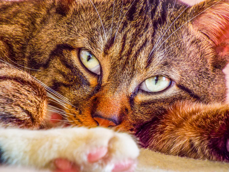 Close portrait with beautiful tabby face. Colorful beautiful tiger cat face portrait with lighting eyes stock photos