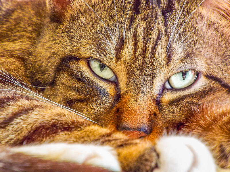 Close portrait with beautiful tabby face. Colorful beautiful tiger cat face portrait with lighting eyes stock photo