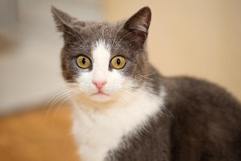 Close portrait of a cute and funny grey with white cat, looking astonished at the royalty free stock photos