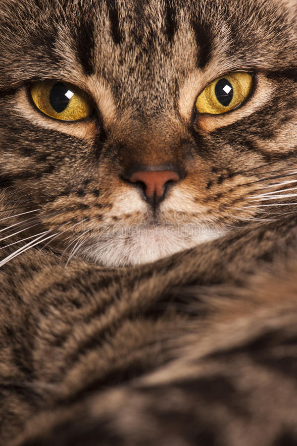 Close portrait of a female tabby cat royalty free stock photos