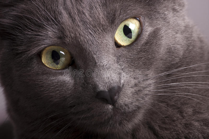 Close portrait of a gray female cat yellow eyes. A close-up portrait of a young blue russian / carthusian cat with yellow eyes. Grey coat stock photo
