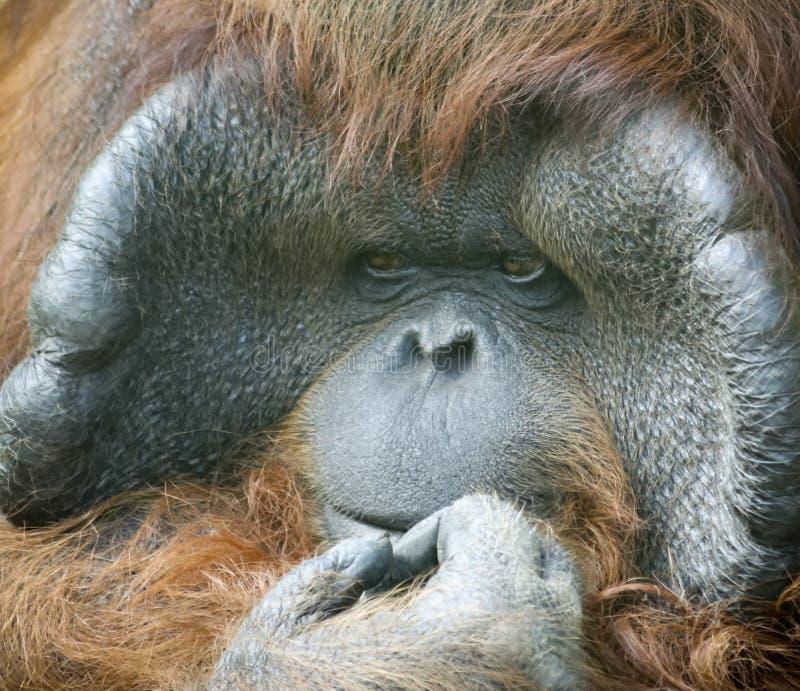 A Close Portrait of a Male Orangutan stock photo