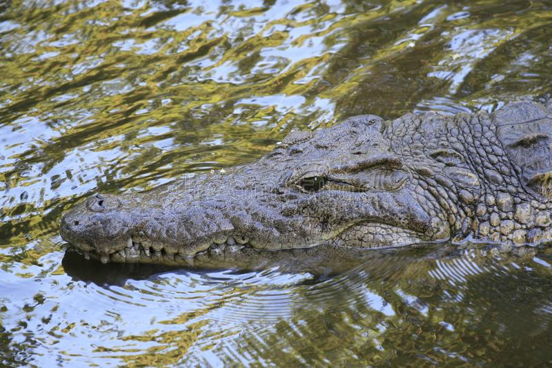 Close portrait of Nile crocodile, Crocodylus niloticus, mouth and teeth. stock photography
