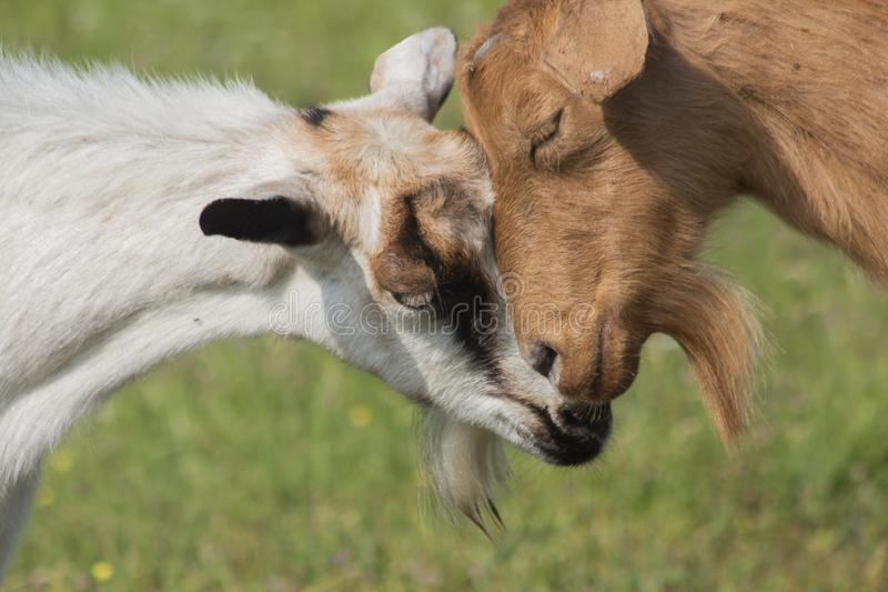 A close portrait of two beautiful goats red and white. royalty free stock images