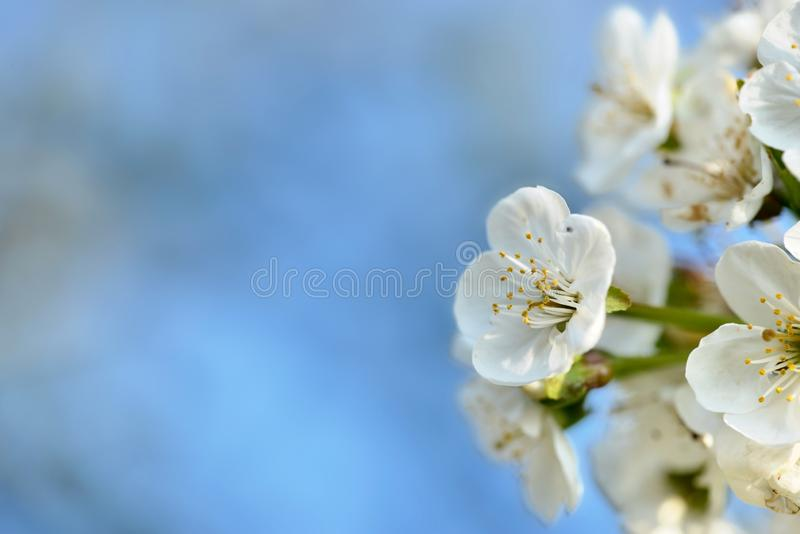 pretty white flowers of a cherry tree on blue sky in spring stock photo