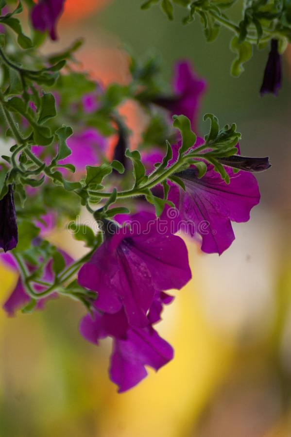 Close purple petunia in the garden stock image