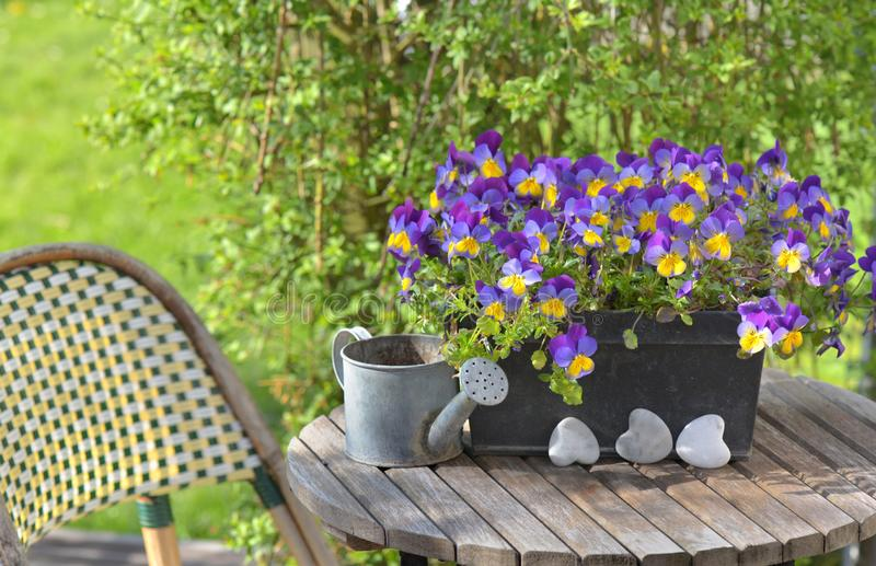 viola in a flowerpot on a garden table with a little watering can royalty free stock photos