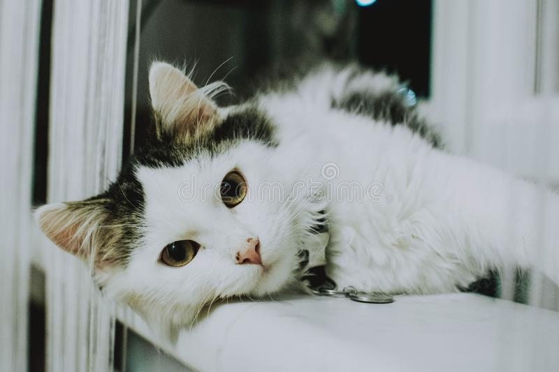 Close range shot of a white cat looking at the camera laying on a white surface royalty free stock photography