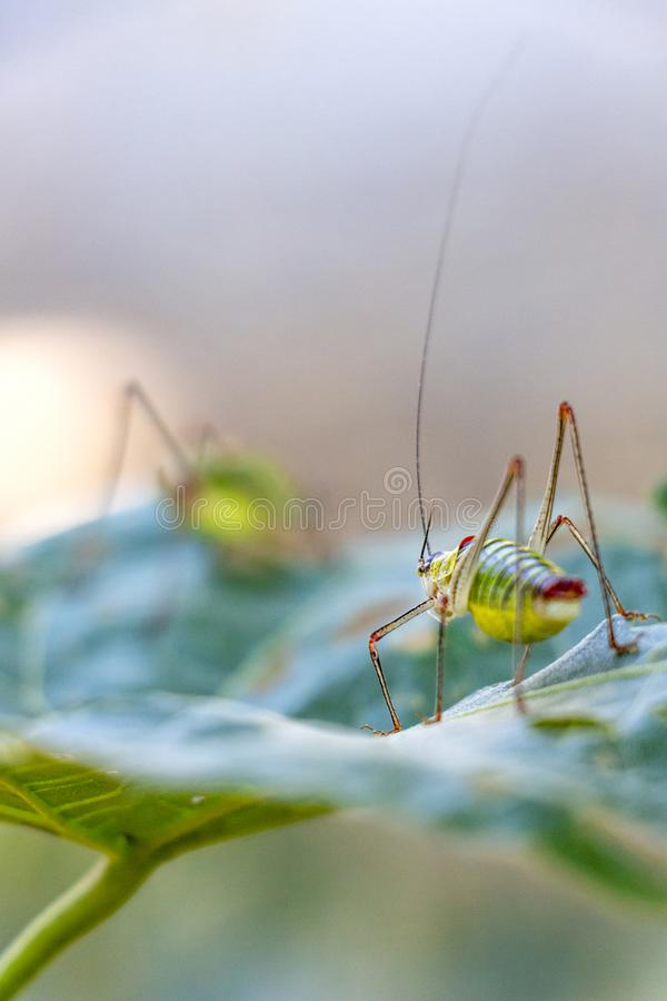 Close rear view of Poecilimon thoracicus, Phaneropteridae on a damaged lime tree leaf stock photography