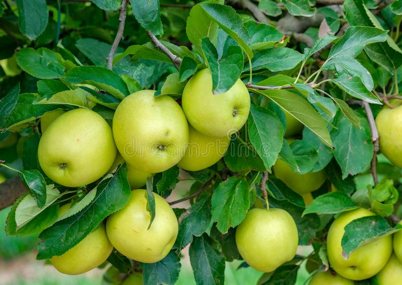 Close of ripe green apples on a tree on a sunny day stock image