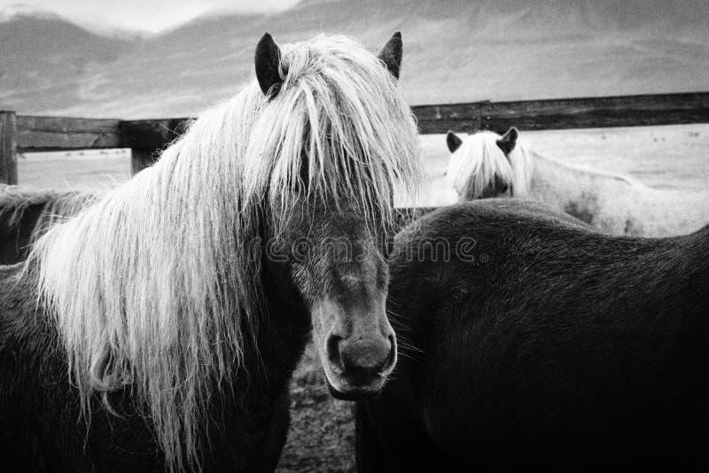 Close shot of beautiful long haired wild horses royalty free stock image
