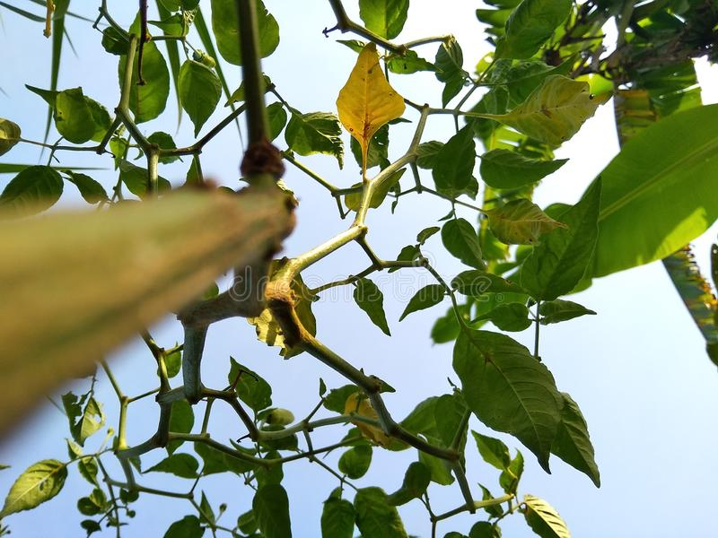 In Close shot chilli plants in the garden royalty free stock image