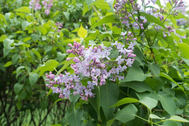 Close shot of flowers of lilac stock photos