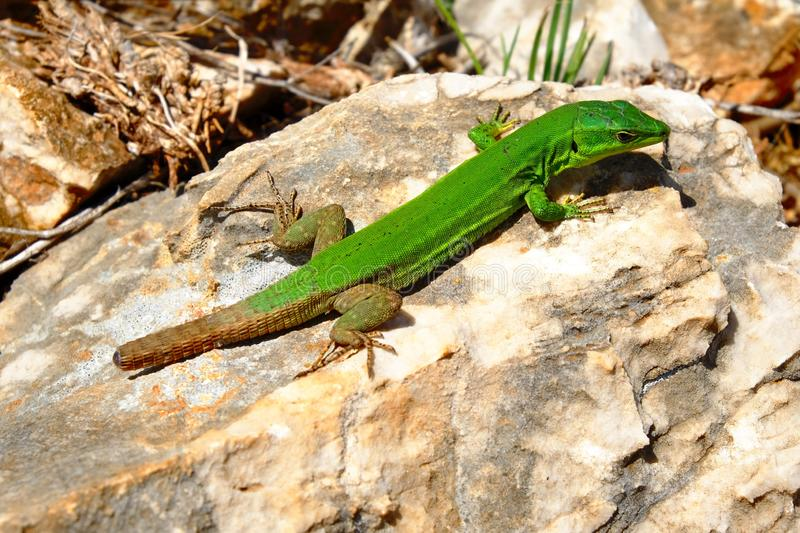 Close shot of a green lizard on a rock on a sunny day stock images