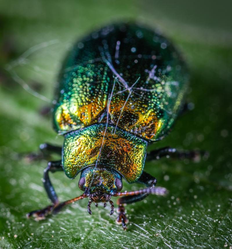 Close Shot of Green and Yellow Beetle royalty free stock photo