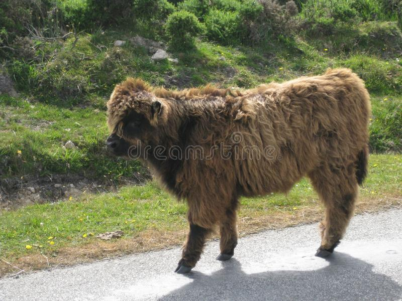 Close shot of a hairy cow walking near grassy field at daytime. A close shot of a hairy cow walking near grassy field at daytime stock photos