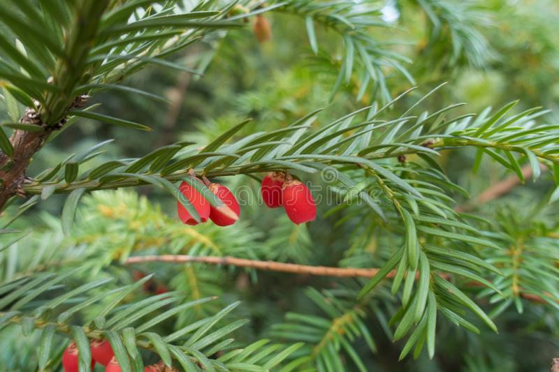 Close shot of red berries on branch of yew stock photos