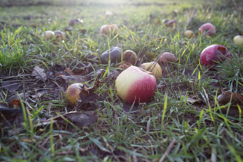 Close shot of rotten fruits on a grassy field with a blurred background royalty free stock images