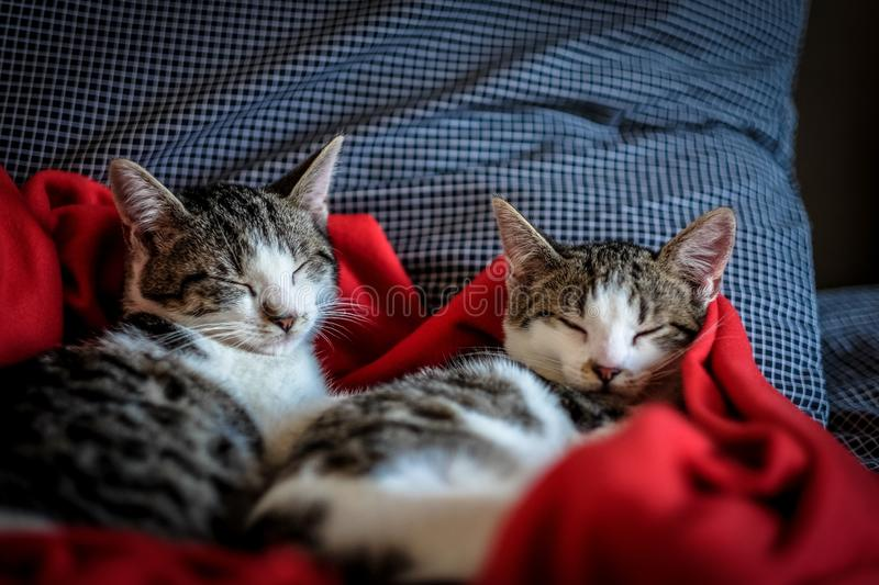 Close shot of two cute cats sleeping in a red blanket stock photo