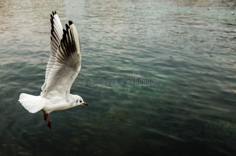 Single seagull taking flight over emerald waters of Lake Geneva. royalty free stock photos