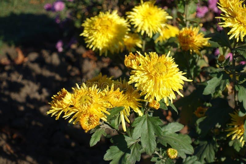 Close shot of yellow flowers of Chrysanthemum in November royalty free stock photos