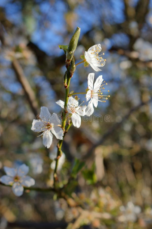 Close on Small White Blossoms. A close, detailed and vertical look at a tree branch with small, delicate white blossoms royalty free stock photography