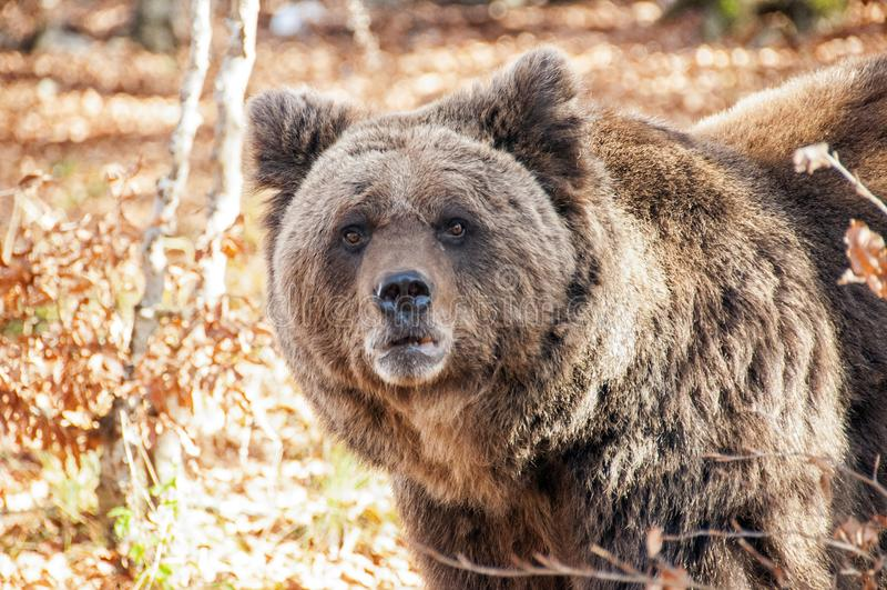 Close snapshot of Bosnian dark bear. The closeup snapshot of the dark bear walks with details of head, snout and nostril royalty free stock photos