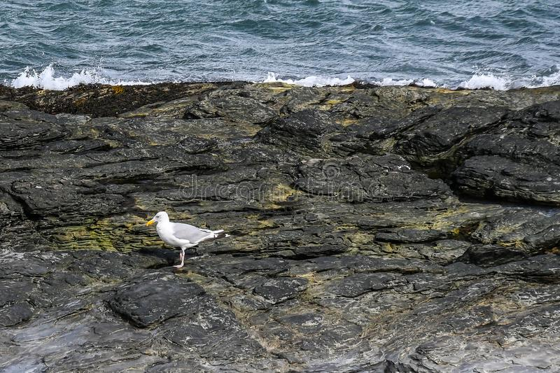 Close to a Sea Gull on the Rocky Coast of Rhode Island stock photography