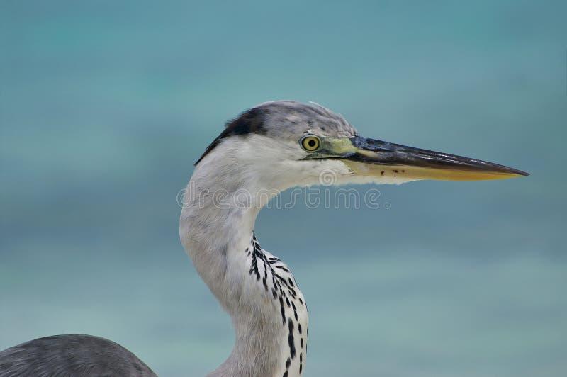 Closeup of beautiful heron on white beach in Maldives near Maafushi Island Maldives stock photo