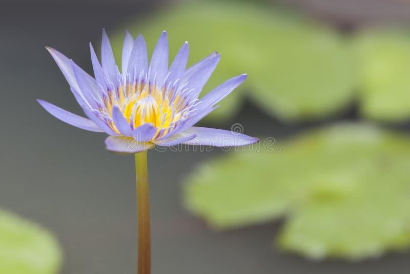 Close-up às plantas da flor de Lotus e da flor de Lotus foto de stock royalty free