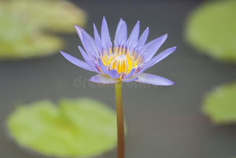 Close-up às plantas da flor de Lotus e da flor de Lotus foto de stock