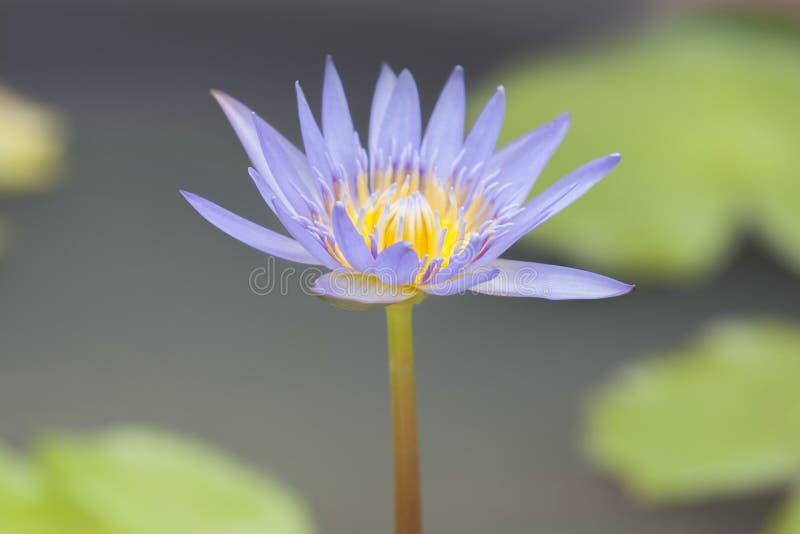 Close-up às plantas da flor de Lotus e da flor de Lotus fotos de stock