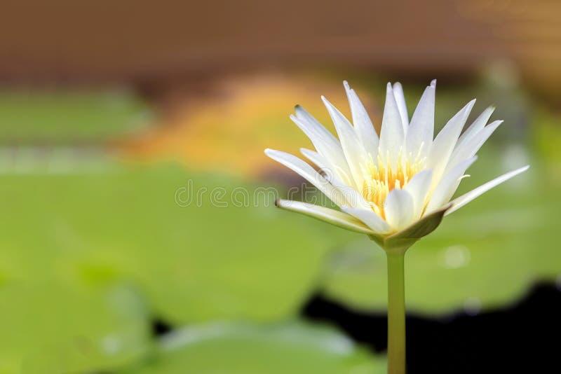 Close-up às plantas da flor de Lotus e da flor de Lotus fotografia de stock