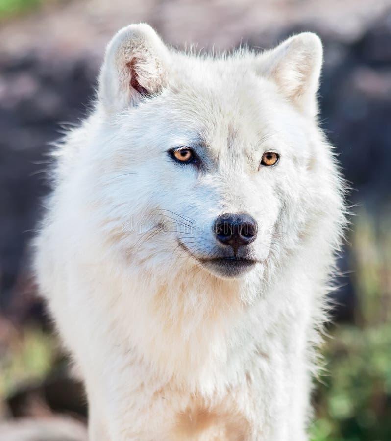 Close-Up ártico novo do lobo fotos de stock royalty free