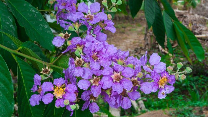 Close-up aan de Hefboom of Calyculata Kurz/LYTHRACEAE van Bungor/Lagerstroemia Floribunda stock foto
