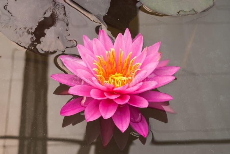 Close-up aan Helder Lotus Nymphaeaceae van Nymphaea van de Waterlelie royalty-vrije stock foto's