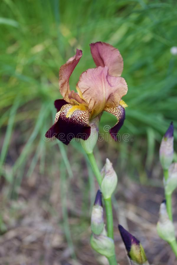 Close up view of an attractive red and purple bearded iris flower in full bloom. Close up abstract view of an attractive deep red and purple color bearded iris stock photos