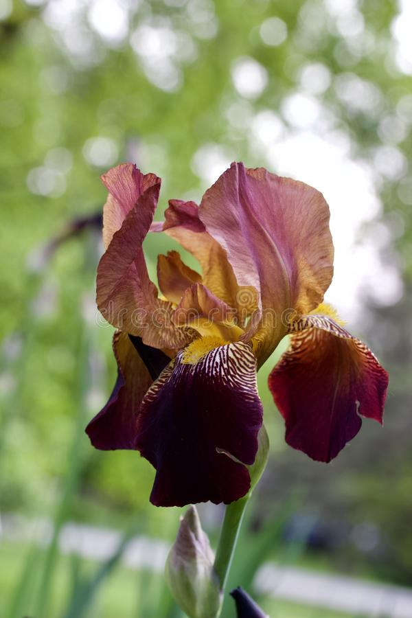 Close up view of an attractive red and purple bearded iris flower in full bloom. Close up abstract view of an attractive deep red and purple color bearded iris royalty free stock photo
