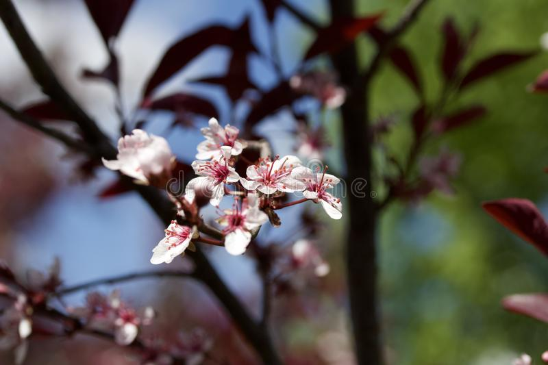 Close up view of attractive white purple leaf sand cherry flowers with defocused background. Close up abstract view of attractive white purple leaf sand cherry royalty free stock photos