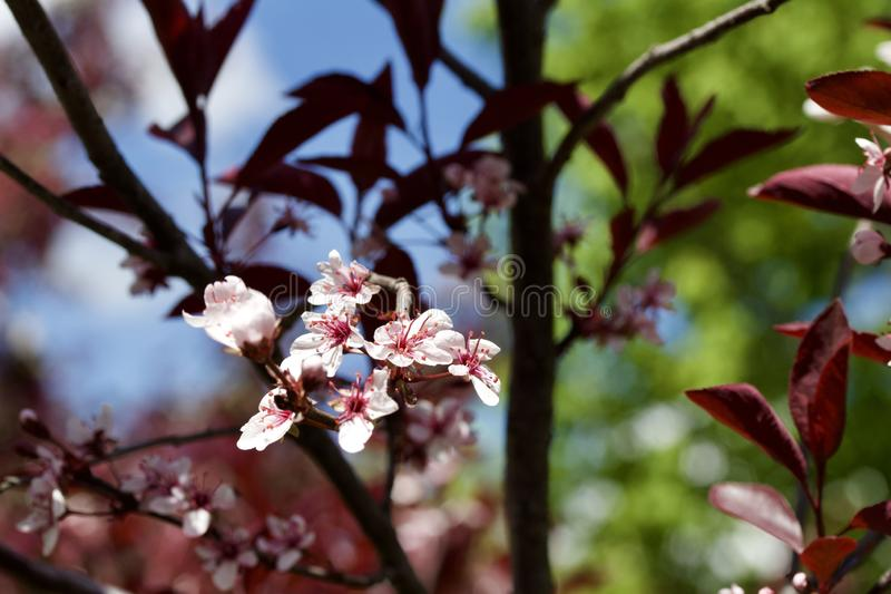 Close up view of attractive white purple leaf sand cherry flowers with defocused background. Close up abstract view of attractive white purple leaf sand cherry royalty free stock images