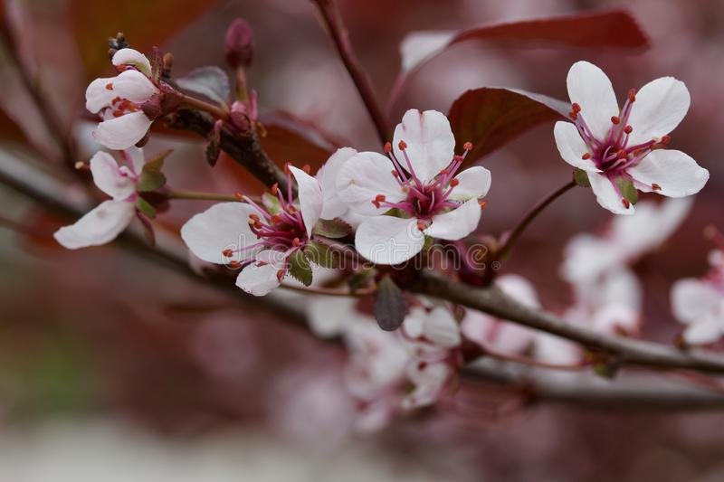 Close up view of attractive white purple leaf sand cherry flowers with defocused background. Close up abstract view of attractive white purple leaf sand cherry royalty free stock image