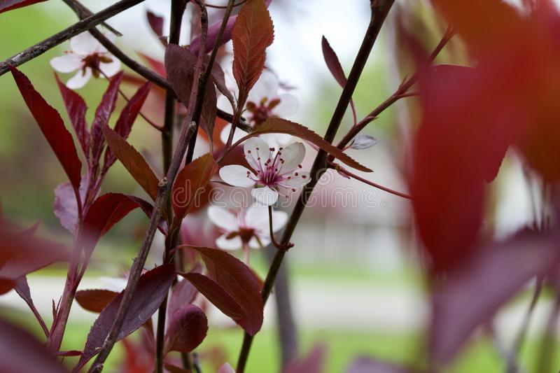 Close up view of attractive white purple leaf sand cherry flowers with defocused background. Close up abstract view of attractive white purple leaf sand cherry stock photo