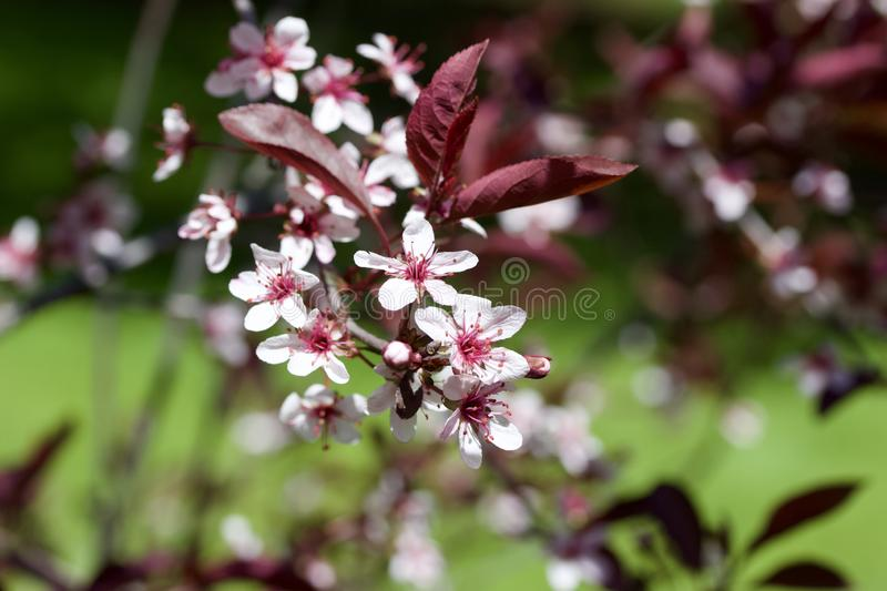 Close up view of attractive white purple leaf sand cherry flowers with defocused background. Close up abstract view of attractive white purple leaf sand cherry stock images