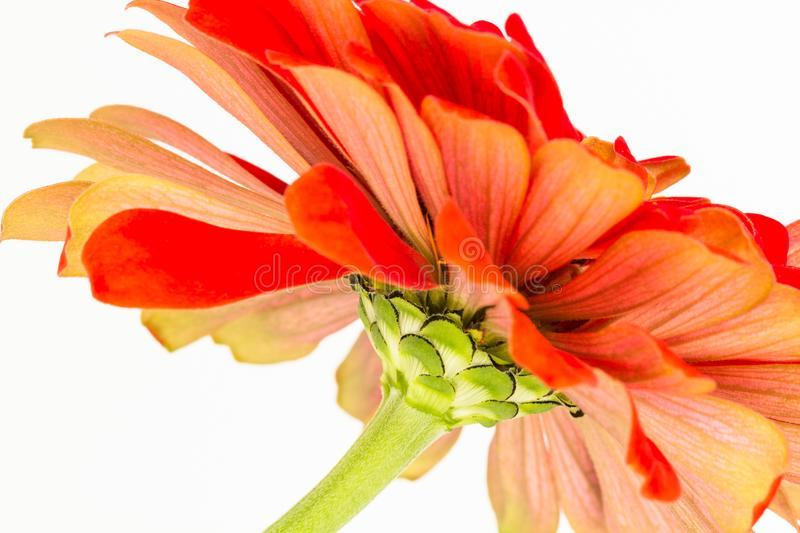 Close up abstract of Zinnia flower stock photo