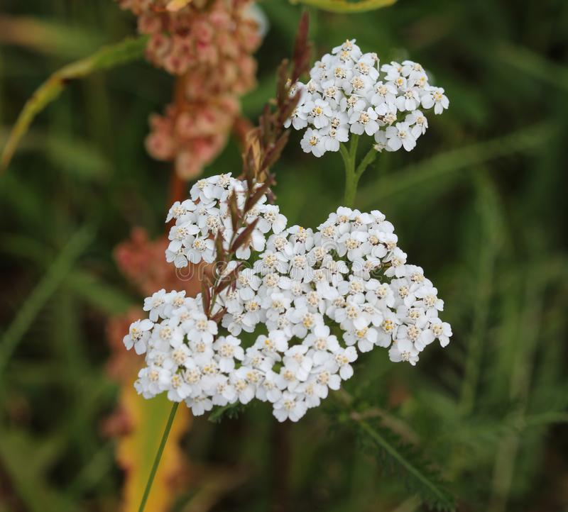 Achillea millefolium, commonly known as yarrow, blooming in spring royalty free stock images