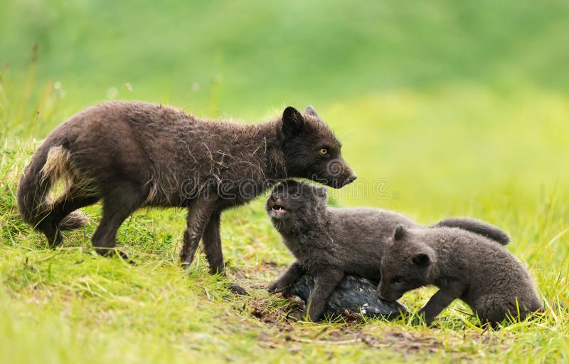 Adult Arctic fox feeding little cubs on a rainy day stock photography