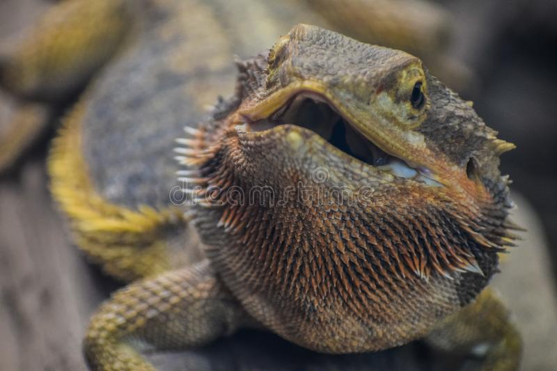 Smiling Bearded Dragon stock photography