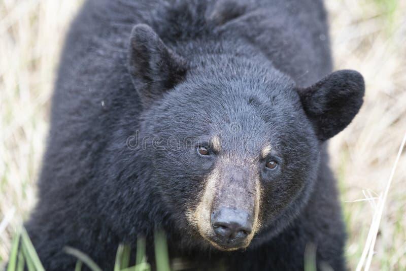 Close-up of adult Black Bear royalty free stock image
