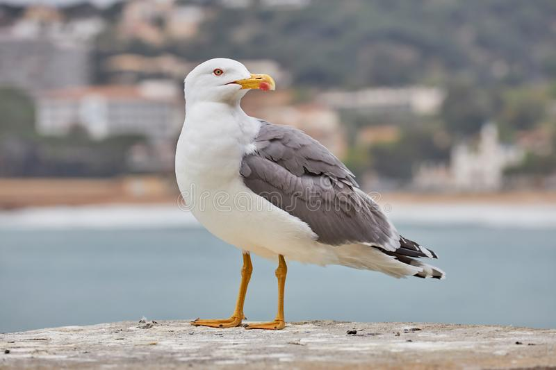Close up of adult European herring gull Larus argentatus on the wall royalty free stock photography
